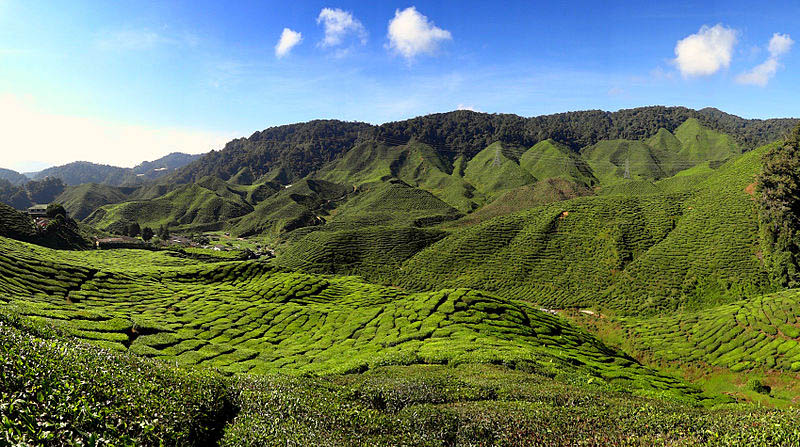 The Bharat Tea Plantation near Tanah Rata in the Cameron Highlands, Malaysia.