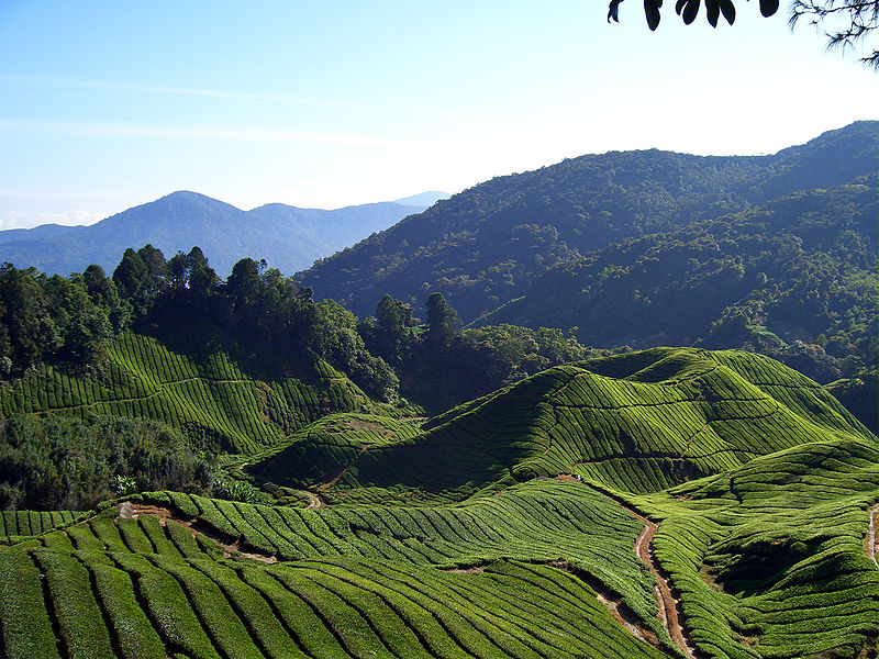 A view of tea in the Cameron Highlands, Malaysia.