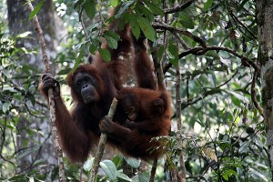 Orangutans are mostly arboreal, meaning they live in the trees.