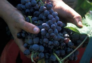 Handful of grapes ready for the wine press.