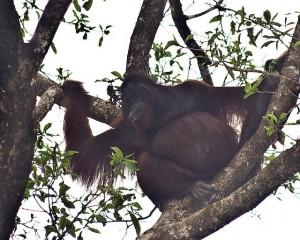 Male orangutan, Kinabatangan Wildlife Sanctuary.