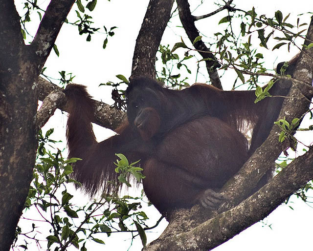 Male orangutan, Kinabatangan Wildlife Sanctuary.