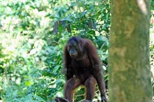 orangutan malaysia