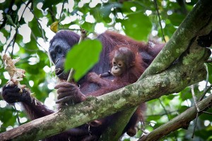 Wild mother and baby orangutans.